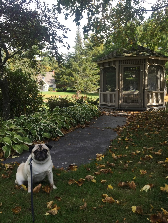 a pug and his patio